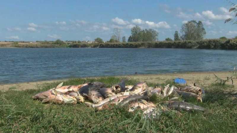 Десетки толстолоби измряха заради пресъхващ язовир в Черноморец