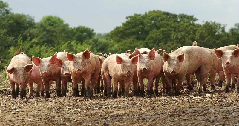 Русия забрани вноса на свинско от България