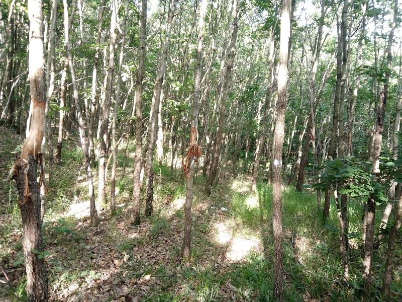 Заарландски метод за отглеждане на дървесина