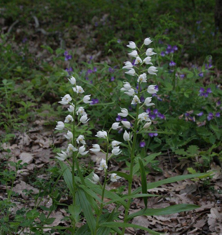 Екипът на парк Странджа показва всеки ден диви орхидеи по Фейсбук