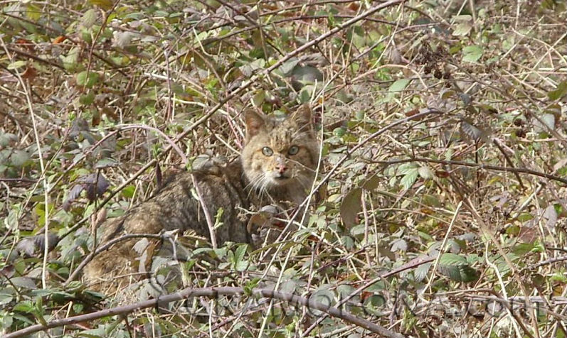 Вижте Felis silvestris – дивата котка, която се среща в Странджа