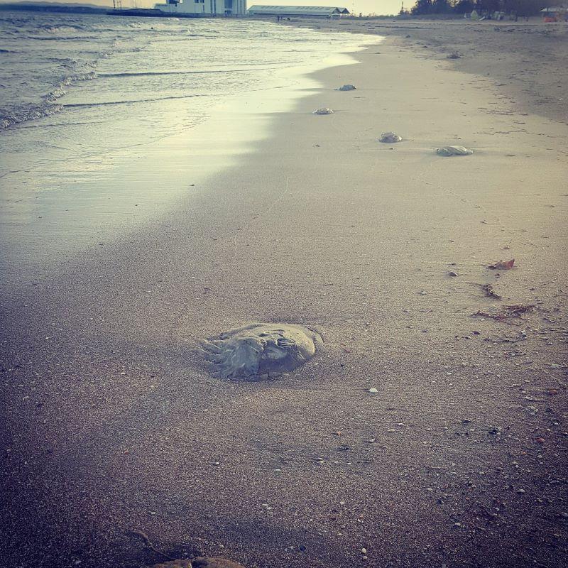 Лоши плувци с кратък живот – какво не знаем за медузите в Черно море