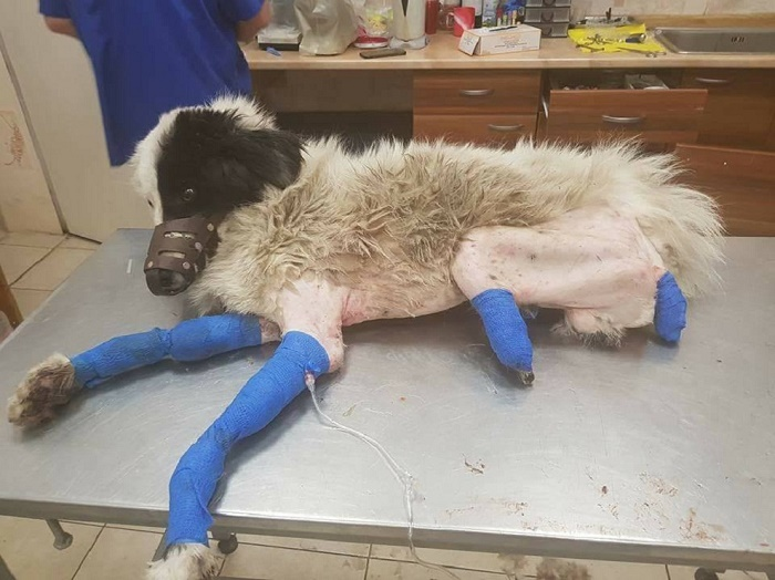 Без шанс: Ще евтанизират кучето с отрязаните лапи от Пазарджик