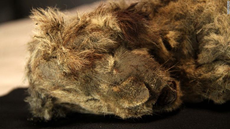 Борис и Спарта – пещерните лъвчета, които и днес изумяват учените