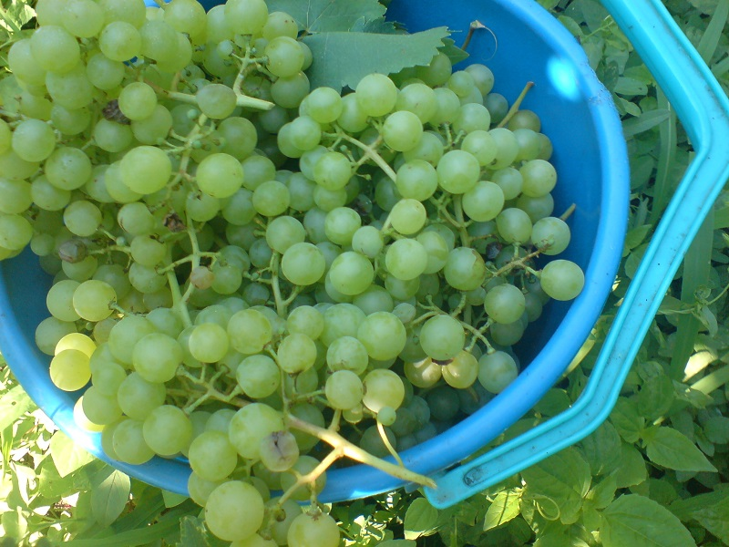 Жандармерия пази гроздето в Сунгурларе