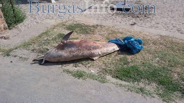 Мъртъв делфин на бургаския плаж