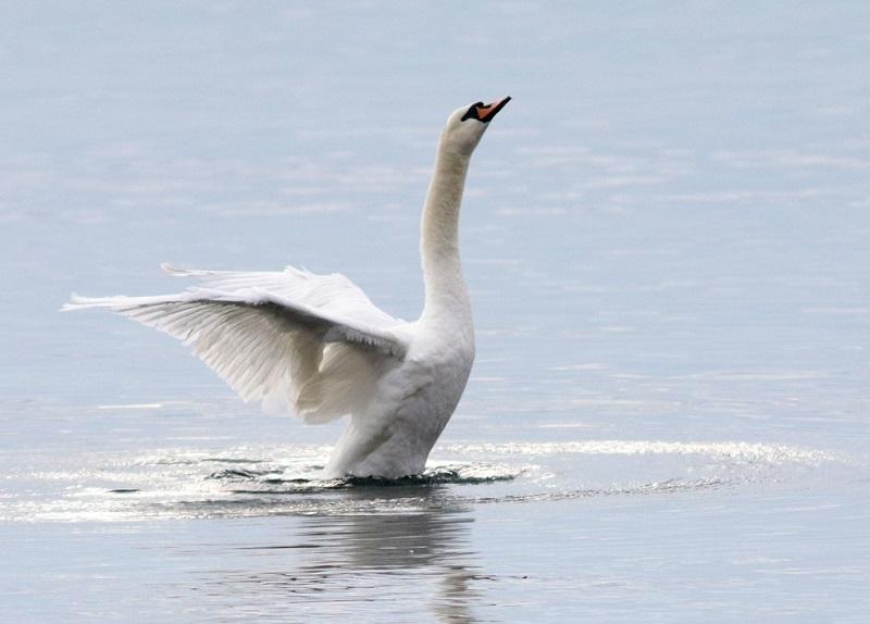 Най-много зимуващи водолюбиви птици у нас са регистрирани по Черноморското крайбрежие и река Дунав