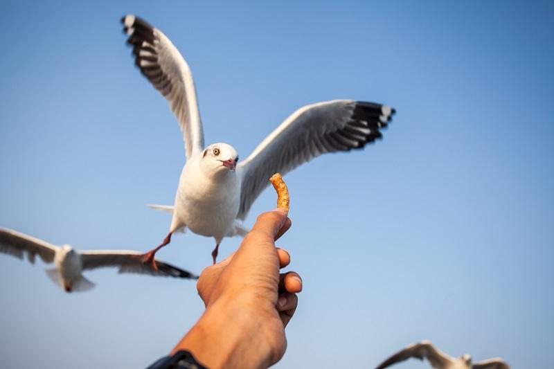 Как да се борим с крадливите чайки?