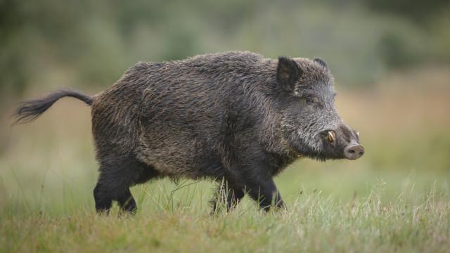 Земеделското министерство забрани груповия лов на дива свиня
