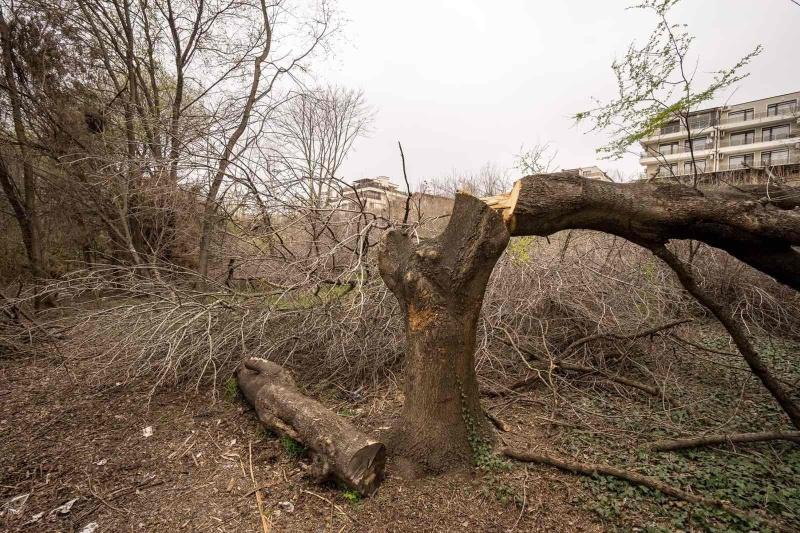 Брутална сеч на дървета на крайбрежната алея в Сарафово