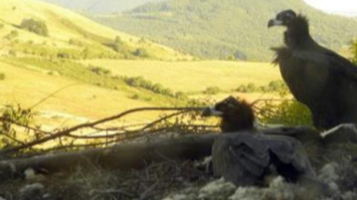 Бракониери убиха Ултрон - черният лешояд, който трябваше да върне вида у нас