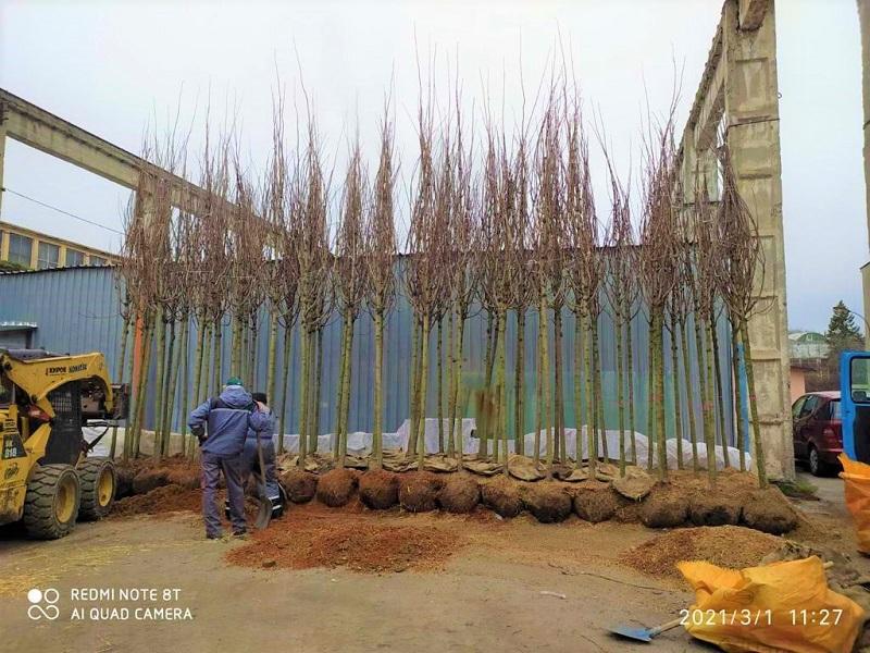 В Бургас пристигнаха дървета от Холандия