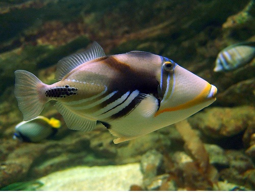 Риба Пикасо представят пред бургазлии
