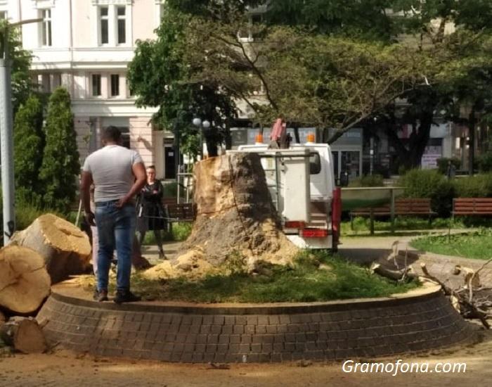 """Бургазлии питат: Защо отрязаха вековно дърво пред хотел """"България""""?"""